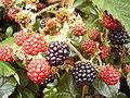 Blackberries ios.JPG