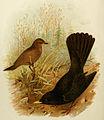 Blackbird Grönvold.jpg