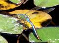 Blau-grüne-libelle hanbury-garden.png