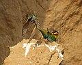 Blue-tailed Bee-eater (106032453).jpg