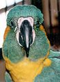Blue-throated Macaw front of face.jpg
