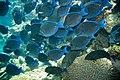 Blue tang Acanthurus coeruleus (2442373989).jpg