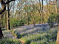 Bluebells in Middleton Woods, Ilkley - geograph.org.uk - 188094.jpg