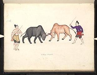A bull fight (II)