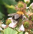 Boomhommel op braam (Bombus hypnorum on Rubus fruticosus).jpg