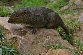 Bornean Mountain Ground Squirrel (Dremomys everetti) (7113326479).jpg