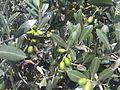 Botany Bay - Olea europaea 1.jpg