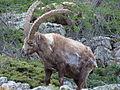Bouquetin des Alpes (Capra ibex)2 03.JPG
