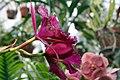 Brassolaeliocattleya Owen Holmes Cloud Forest 2zz.jpg