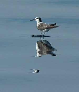 Bridled tern - In non-breeding plumage