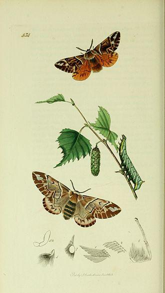 Endromis - Illustration from John Curtis's British Entomology Volume 5