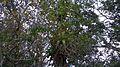 Bromélias, na copa das árvores, encontrada na Mata Cipó, derivação de Mata Atlântica-Ba.jpg