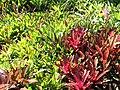 Bromeliads, Durban Botanic Gardens.jpg