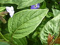 Browallia viscosa (Solanaceae) leaves.JPG