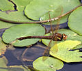 Brown Hawker Dragonfly in flight 11 (3877796893).jpg