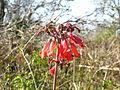 Bryophyllum delagoense flowerhead1 (12079175474).jpg