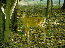 Buchanan's Birthplace State Park Fawn.jpg
