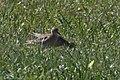 Buff-breasted Sandpiper TX1985 High Island TX 2018-04-24 08-59-25 (41349142054).jpg