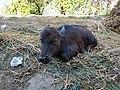 Buffalo calf.jpg