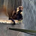 Buffy-headed Capuchin at Chester Zoo 1.jpg