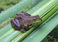 Bull Frog (10710575894).jpg