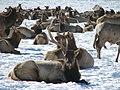 Bull elk shedding an antler (6972322101).jpg