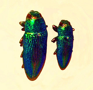 <i>Lampetis</i> genus of insects