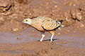 Burchell's sandgrouse, Pterocles burchelli, at Mapungubwe National Park, Limpopo, South Africa (17358277633).jpg