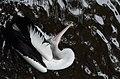 Burung pelican.jpg