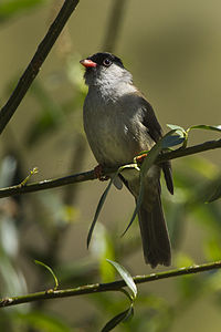 Bush Blackcap - Natal - South Africa S4E6939 (18926423153).jpg