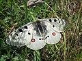 Butterfly 1 (59929320).jpeg