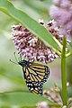 Butterfly Fiesta.jpg