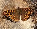 Butterfly November 2007-8.jpg