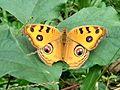 Butterfly of Bangladesh 08.jpg