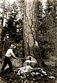 C.1930. Falling an infested ponderosa pine tree. The undercut shows dark stains in sapwood caused by blue-stain fungi, which develops soon after the western pine beetle attacks the tree. CA.. (32915742873).jpg