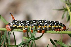 CH Caterpillar 2.jpg
