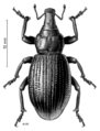 COLE Curculionidae Lyperobius huttoni.png