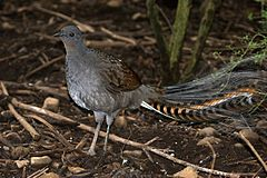 CSIRO ScienceImage 10356 Superb Lyrebird.jpg