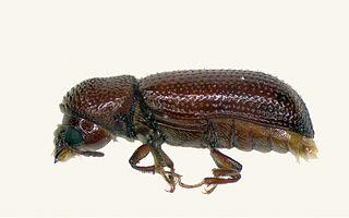 <i>Rhyzopertha</i> genus of insects