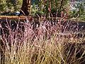 Calamagrostis breweri (7842451378).jpg