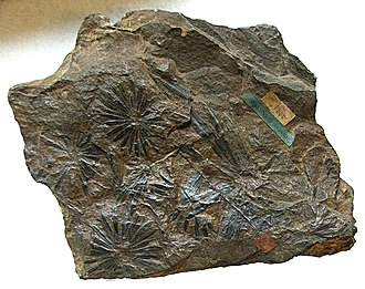 Calamites - The foliage (Annularia) of Calamites