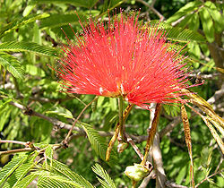 Calliandra tweedi 1.jpg