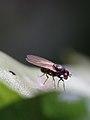 Calliopum sp. (Lauxaniidae) (11045300453).jpg