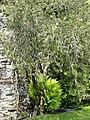 Callistemon 'Lilacinus' - Isola Madre (Stresa) - DSC03279.JPG