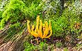 Calocera viscosa - Klebringer Hörnling - Yellow stagshorn fungi - 01.jpg