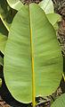Calophyllum inophyllum leave reverse.jpg