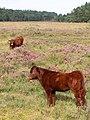 Calves on the heath, Ogden's Purlieu, New Forest - geograph.org.uk - 236543.jpg