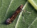 Calybites phasianipennella (26120880577).jpg