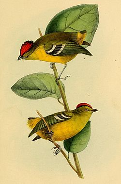 Ilustração de Calyptura cristata, retirada do livro A selection of the birds of Brazil and Mexico, por William John Swainson.