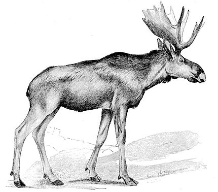 Cambridge Natural History Mammalia Fig 156.jpg
